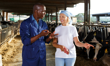 Mature woman and African American man working with cows on dairy farm. Focus on man