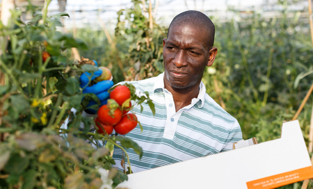 Successful African-American farmer working in greenhouse, harvesting fresh tomatoes