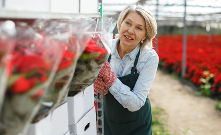 Experienced middle-aged woman preparing plants of poinsettia for sale in greenhouse