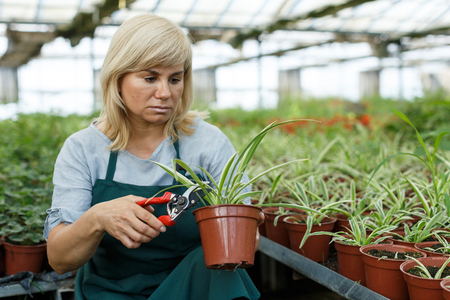 Mature female gardener with scissors  trimming plants of cinta  in greenhouse Imagens