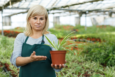 Mature woman florist looking for plant of cinta in pots while gardening in greenhouse