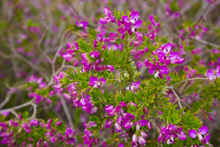Many small pink flowers polygala myrtifolia in the flowerbed