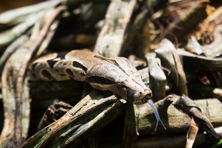 Boa constrictor is famous as one of largest species of snake 写真素材