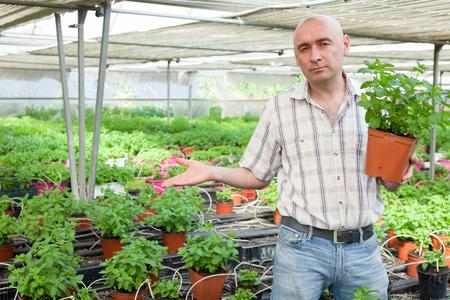 Portrait of male worker taking care of mint plants in glasshouse