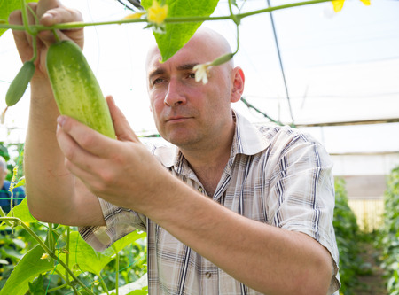 Confident male farmer controlling process of growing of cucumbers in greenhouse