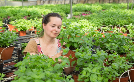 Young woman farmer arranging spearmint in  pot in sunny greenhouse Stock Photo