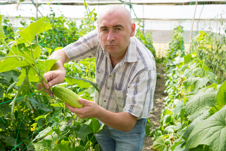 Portrait of male  professional gardener picking cucumbers in  hothouse