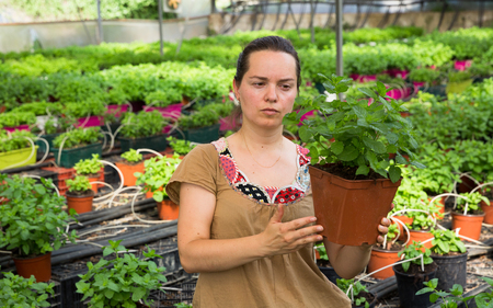 Positive woman gardener working in hothouse cultivating organic mint Stock Photo