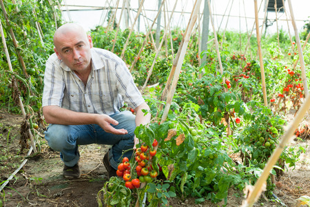 Man  professional gardener working with tomatoes in sunny greenhouse