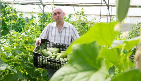 Portrait of man working in glasshouse, harvesting ripe cucumbers Stock Photo