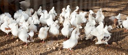 Closeup of flock of white fancy pigeons in aviary on bird farm 版權商用圖片 - 115705491