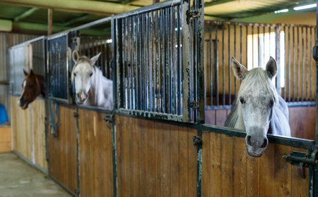 Close up of well-groomed horses standing in clean stalls at stable