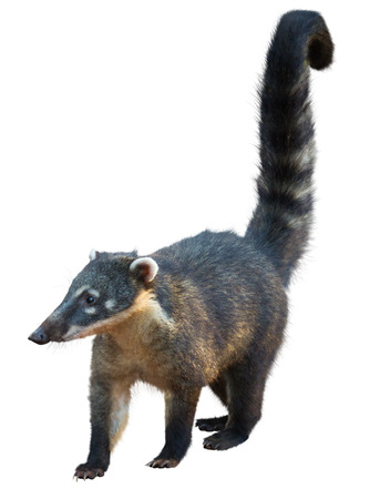 Coati (Nasua narica) isolated on white background