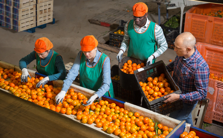 Above view of adult male and female workers in colored uniform sorting fresh ripe mandarins on producing grading line