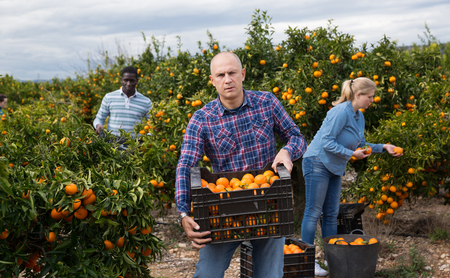 Portrait of positive workers picking mandarins in boxes on farm