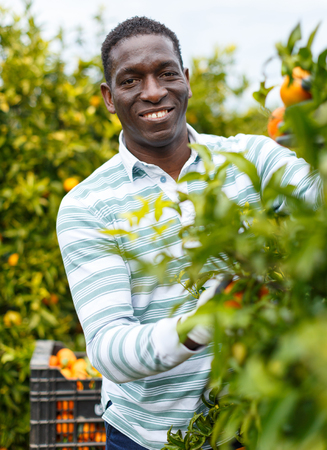 Smiling African-American farmer harvesting ripe mandarin oranges on citrus plantation 免版税图像