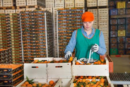 Mitarbeiterin des Obstlagers in farbiger Uniform, die Etiketten auf frische reife Mandarinen in Kisten klebt