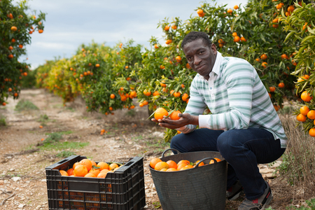 Portrait of cheerful afro male worker picking mandarins in box on farm 스톡 콘텐츠