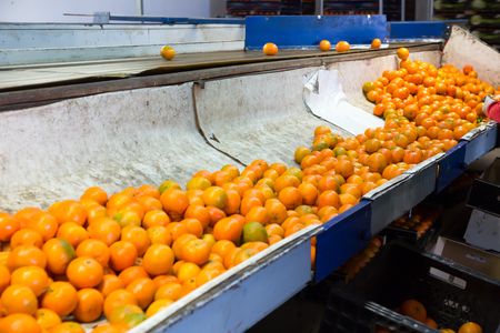 View of ripe mandarin on conveyor belt of sorting production line Imagens