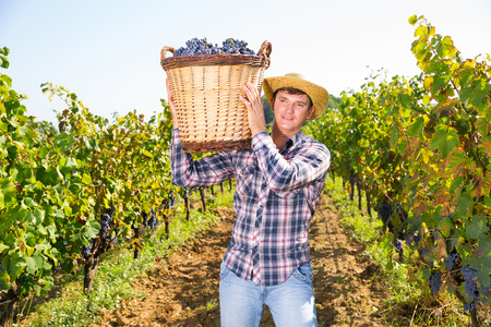 Portrait of successful male owner of vineyard holding wicker basket with harvested grapes Stock Photo