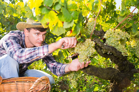 Young confident male farmer harvesting ripe white grapes in sunny vineyard