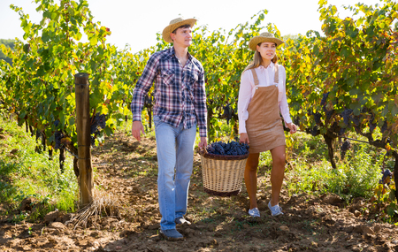 Two successful winemakers carrying together wicker basket with harvested grapes in vineyard