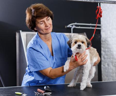 Portrait of mature female groomer with her client havanese puppy in salan Reklamní fotografie