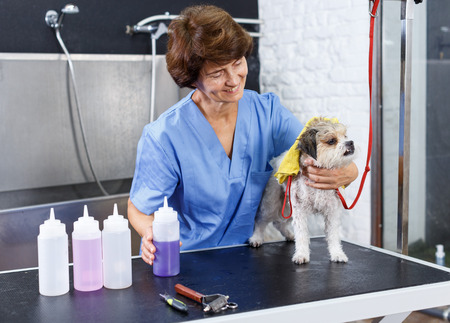 Senior female groomer drying hair of havanese puppy with towel after washing in salon for dogs Stock Photo