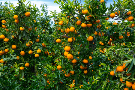 View of ripe mandarin oranges on trees on fruit farm