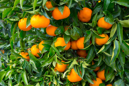 Tangerines trees with ripe fruits on fruit plantation
