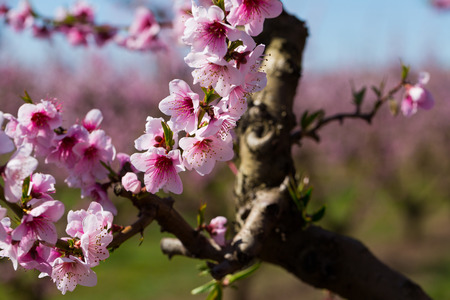 Closeup of flowers on peach tree branch in spring time Stok Fotoğraf