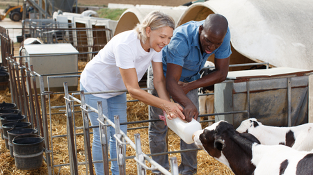 Male and female farm workers feeding calves in outdoors stail Stock Photo