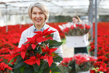 Portrait of happy woman with potted Euphorbia pulcherrima (poinsettia) in glasshouse on background with red flowering field