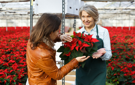 Skilled woman florist engaged in cultivation of plants of Euphorbia pulcherrima (poinsettia) in greenhouse, advising female customer before purchase