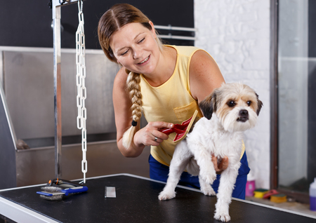 Adult female groomer performing fur care for havanese puppy at grooming salon