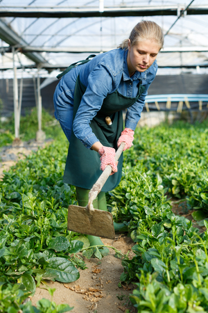 Middle aged woman taking care of spinach plants in greenhouse, working with hoe