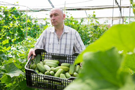 Man  professional gardener holding crate with cucumbers in  greenhouse