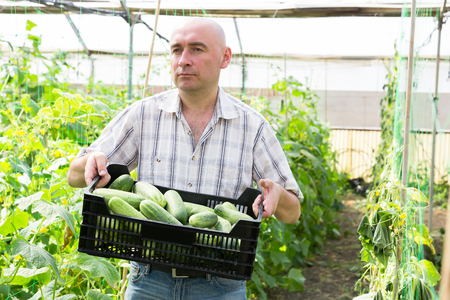 Man farmer holding crate with cucumbers in sunny greenhouse