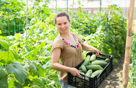 Woman professional gardener holding crate with cucumbers in greenhouse Stock Photo