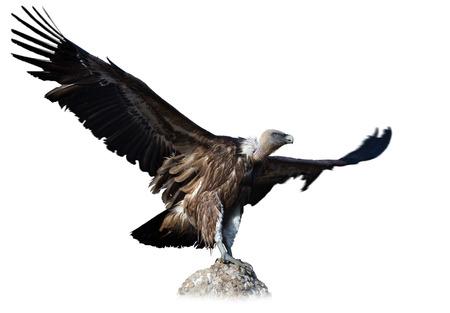 Big Griffon vulture landing on stone on white background Standard-Bild