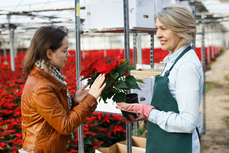 Portrait of mature woman florist working in greenhouse, consulting female client about Poinsettia pulcherrima Imagens