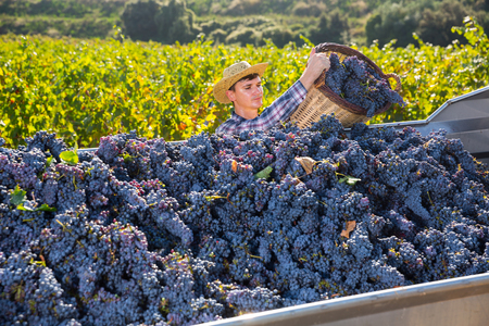 Young confident farmer harvesting ripe blue grapes in vineyard, pouring from basket in truck
