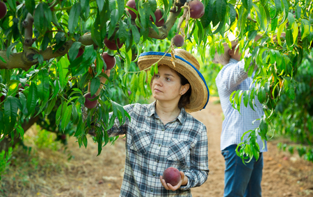 Young woman in hat picking fresh peaches in garden, man on background