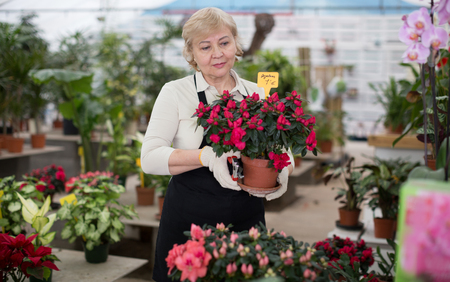 Woman gardener is taking care of flowers with secateur in orangery. Stock Photo