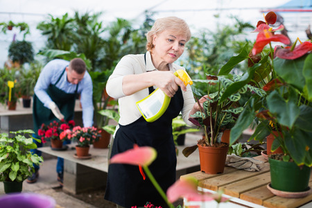 Two diligent serious gardener are processing flowers with substances in greenhouse.