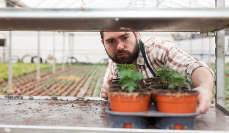 Professional gardener working with tomato seedlings in greenhouse