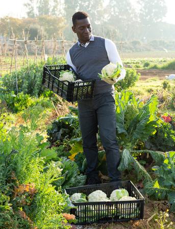 African American male amateur gardener harvesting ripe cauliflowers on his kitchen garden