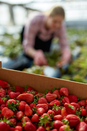 Positive woman horticulturist in apron picking harvest of fresh strawberry to crate in  greenhouse