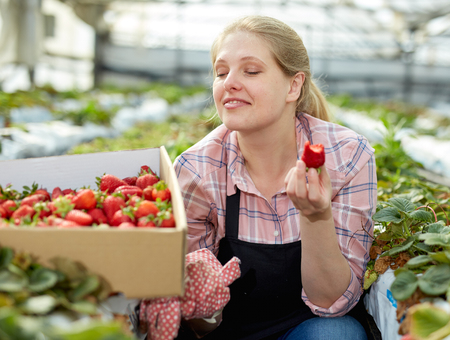 Positive woman farm worker tasting harvested strawberry, working in greenhouse Stockfoto
