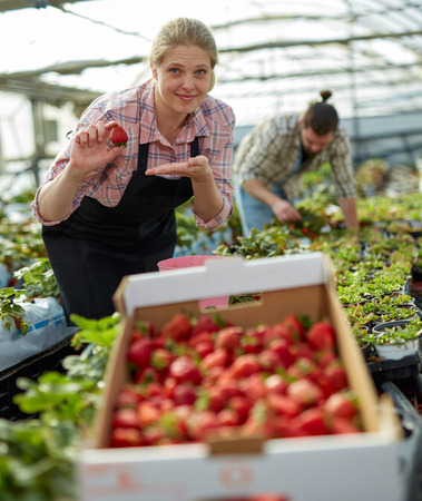 Satisfied woman gardener growing strawberries, showing good harvest of berries in hothouse Imagens